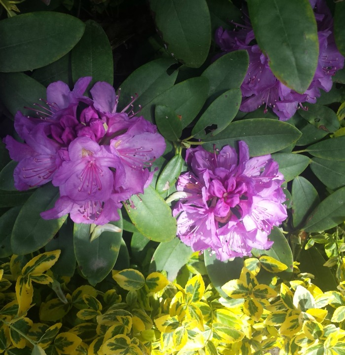 jardin monet fleur 5