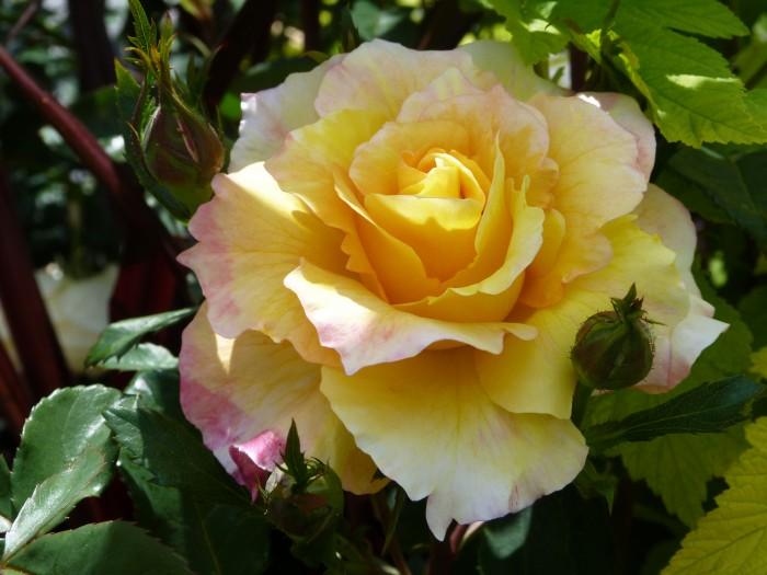 fête de la rose 19