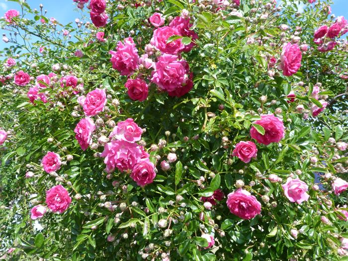 fête des roses tête d'or 2